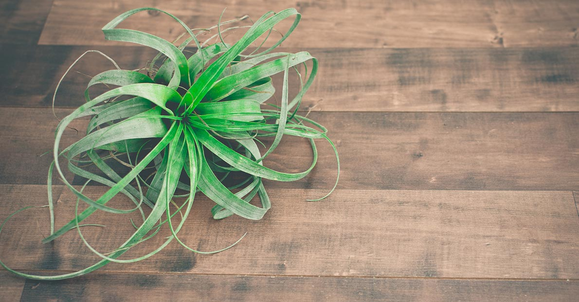 Benefits of growing air plants