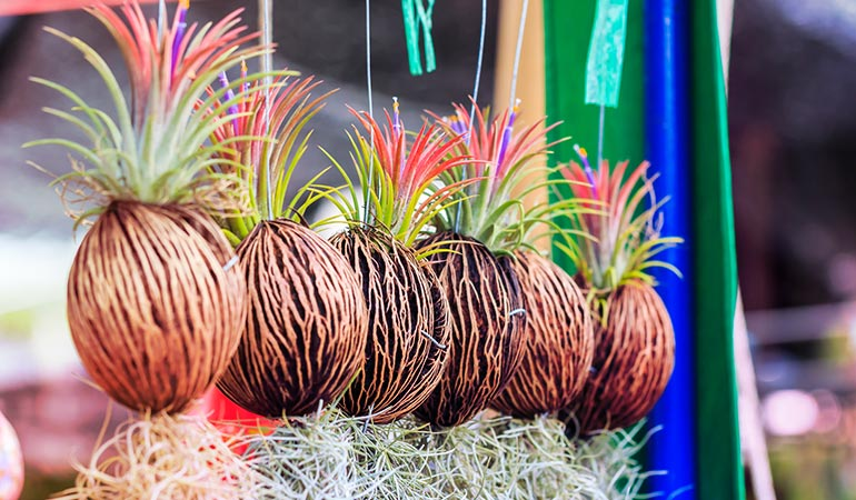 Air plants need adequate water and light to grow
