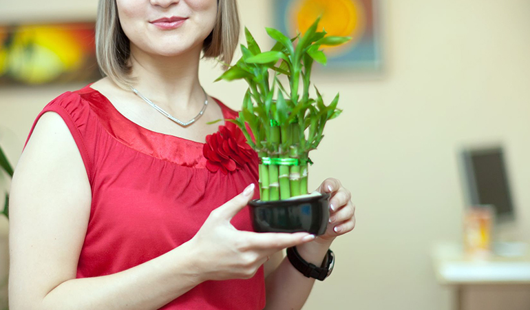 Lucky bamboo is thought to bring luck and does not need much watering