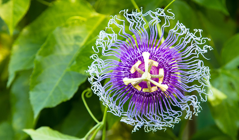 Passionflower can calm anxiety