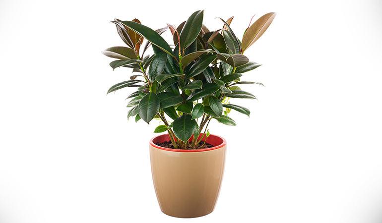 Rubber plant grows slowly and does not need much water