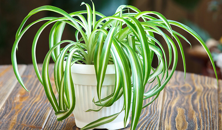 Spider plant purifies the air and does not need much water to grow