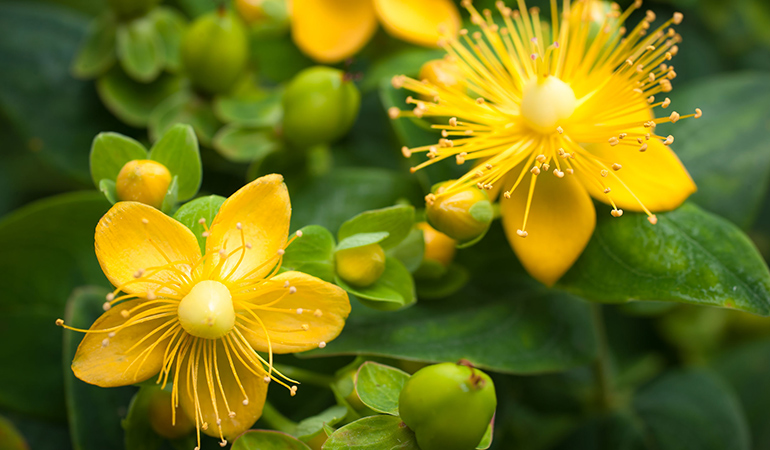 St. John's wort is a good alternative to hormone therapy