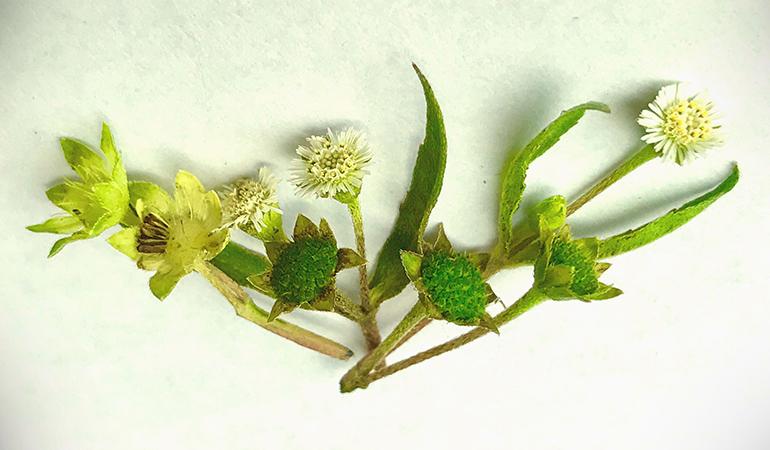 Bhringraj oil is extracted from bhringraj herb