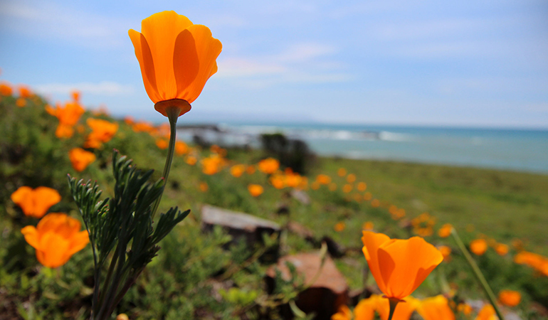 California poppy has valium-like properties.