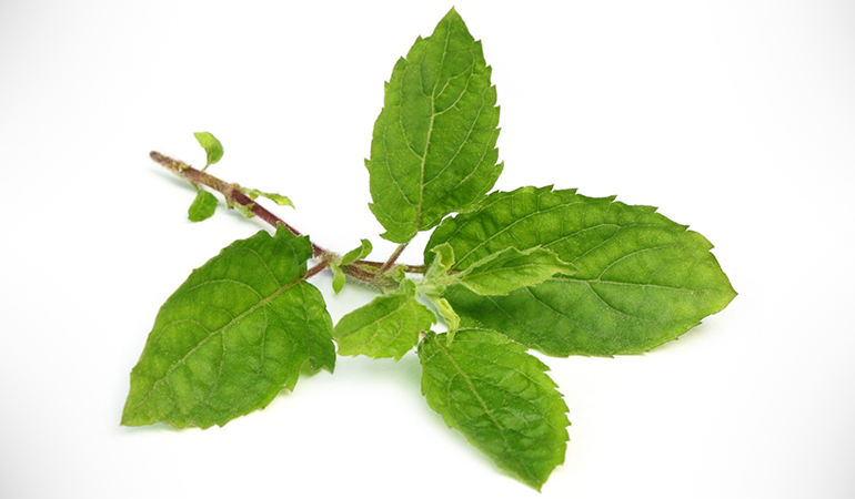 Holy basil prevents infections.