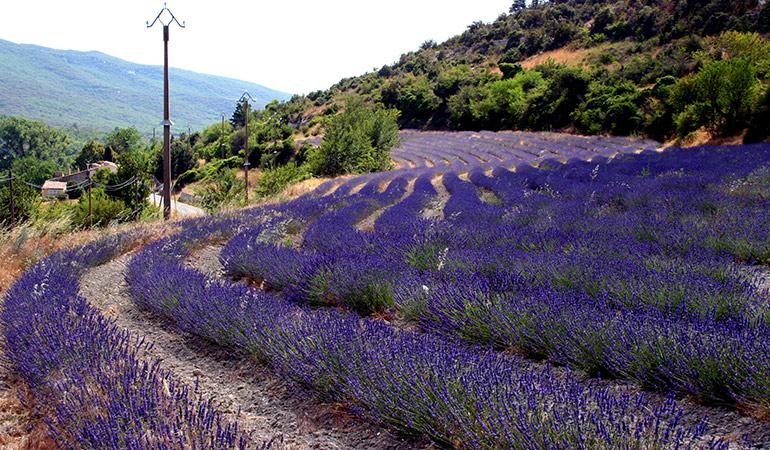 Lavender improves memory.