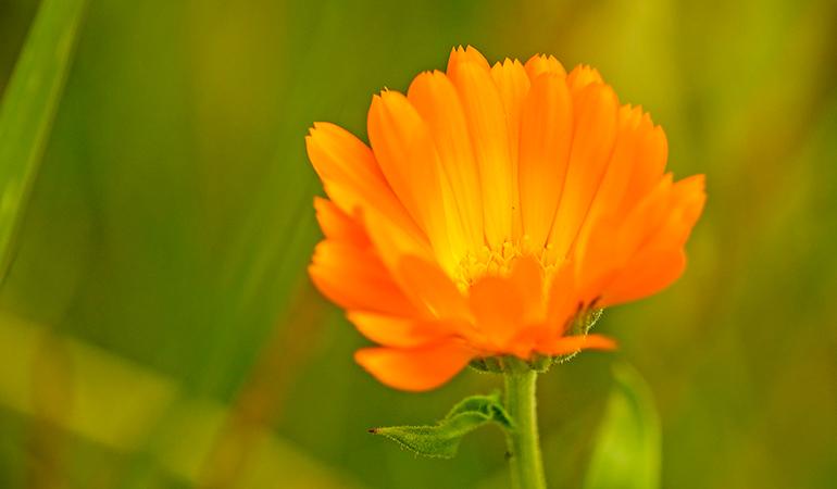 Marigold tea relieves cramps.