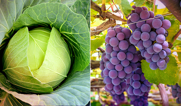 Folklore says that the grapes and wine go bad when grown alongside cabbages